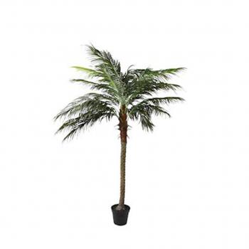 Phoenix Palm Tree In Pot 210cm