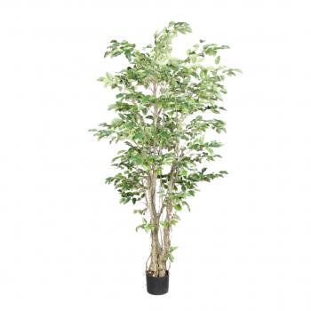 Plant In Pot Ficus Green 213 Cm