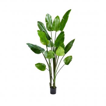 Plant Strelizia Green –  243 CM