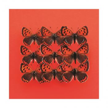 Butterfly – Lycaena Phlaeas